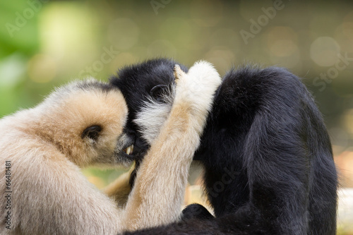 Fotografia Northern white-cheeked gibbons  cuddling