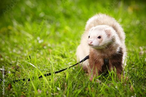 Male ferret on leash Billede på lærred