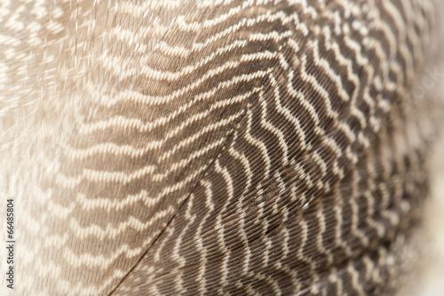 kaczki pióra jako tło. makro