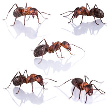 Red Ant Formica Rufa On White Background