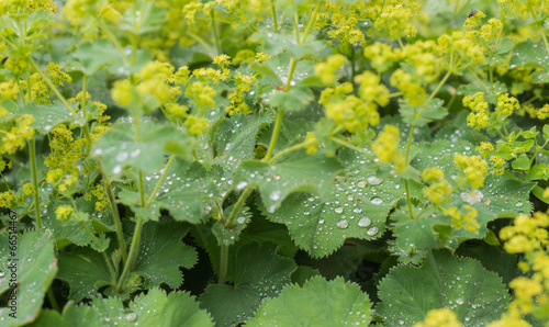 Fotografia Silvery dewdrops sparkling on velvet leaves of Lady's Mantle
