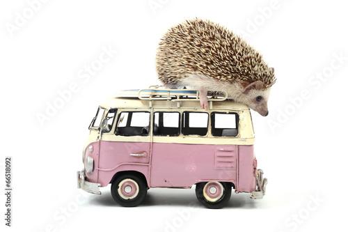 Fotografie, Tablou Hedgehog on a little toy car.