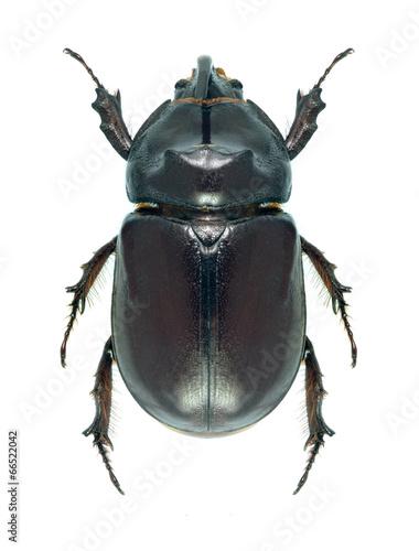 Beetle Oryctes nasicornis Poster