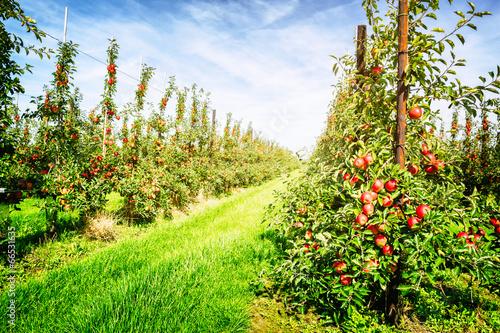 Fotografija  Apple orchard