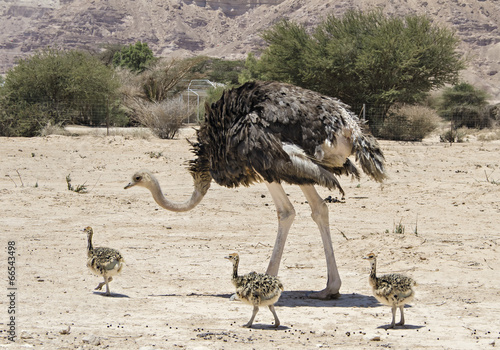 Poster Ezel Female of African ostrich and young chicks