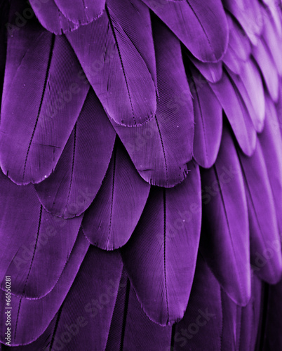 Violet Feathers