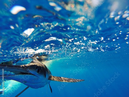 Photo  White Marlin