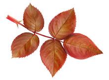 Brown Rose Leaves