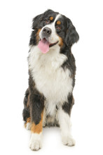 Bernese Mountain Dog On A Whit...