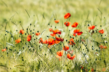 Obraz na Szkle wild poppy flowers