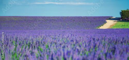 Aluminium Prints Violet Lavender field