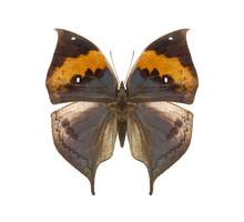 Kallima Tropical Butterfly
