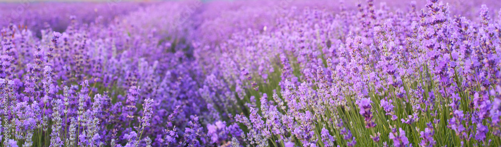 Fototapety, obrazy: Flowers in the lavender fields.