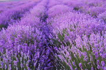 Obraz na Plexi Prowansalski Flowers in the lavender fields.
