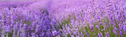 Photo sur Aluminium Lavande Flowers in the lavender fields.