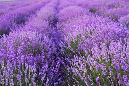 Flowers in the lavender fields. - 66601233