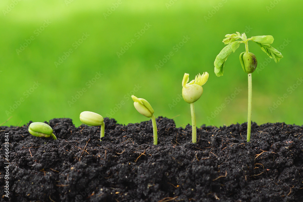 Fototapety, obrazy: Sequence of seed germination on green background