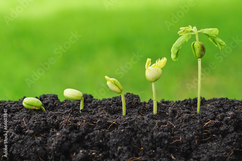 Fotografía  Sequence of seed germination on green background