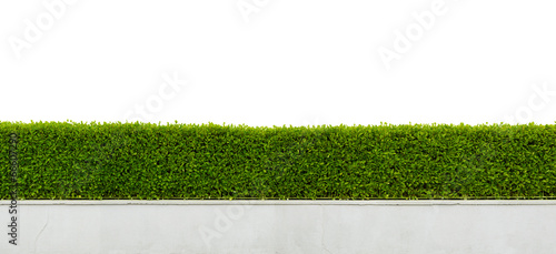 Foto  Panoramic view of beautiful hedge fence isolated on white backgr