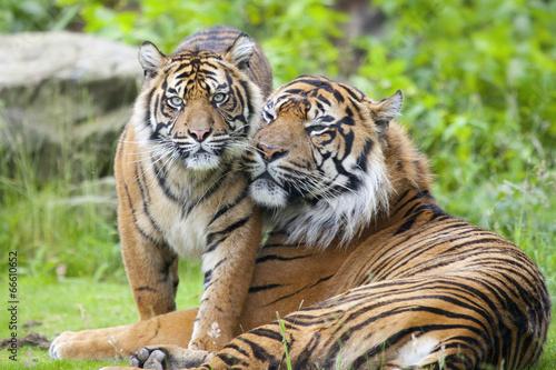 Foto auf AluDibond Tiger Two tigers together