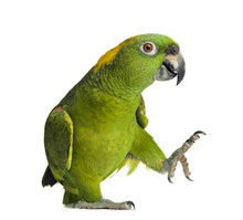 Yellow-naped Parrot (6 Years O...