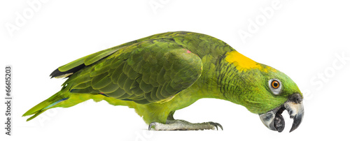 Yellow-naped parrot pecking (6 years old), isolated on white
