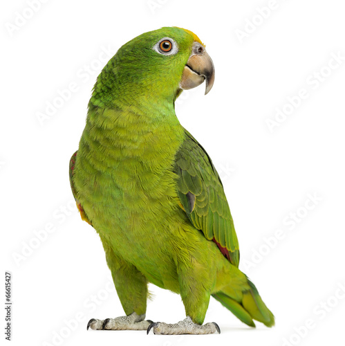 Tuinposter Papegaai Panama Yellow-headed Amazon (5 months old) isolated on white