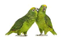 Panama Amazon And Yellow-crowned Amazon Pecking