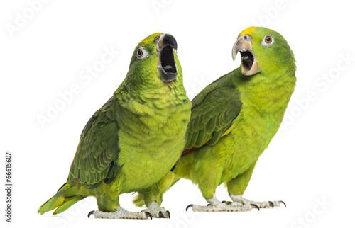 Naklejki papugi  amazonka-panama-i-amazonka-zolto-koronowana-na-bialym-tle