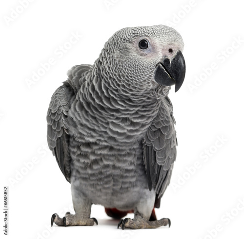 Fond de hotte en verre imprimé Perroquets African Grey Parrot (3 months old) isolated on white