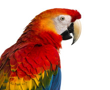 Close-up Of A Scarlet Macaw (4...