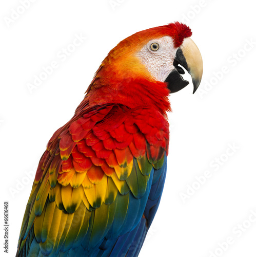 Fond de hotte en verre imprimé Perroquets Close-up of a Scarlet Macaw (4 years old) isolated on white