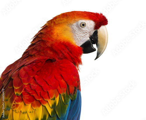 Photo Close-up of a Scarlet Macaw (4 years old) isolated on white