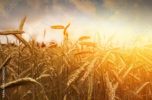 Fotografia  golden wheat field and sunset