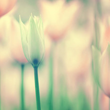 Beautiful Gentle Tulips Backgr...