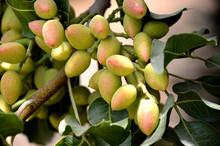 Pistachio Tree.