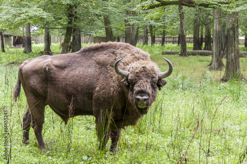 Bialowieski National Park - Poland. Aurochs head. Canvas Print