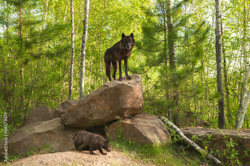 Fotografie, Obraz  Black Wolf (Canis lupus) Stands on Top of Den