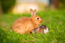 Little Rabbit With Domestic Rat Sitting Outdoors