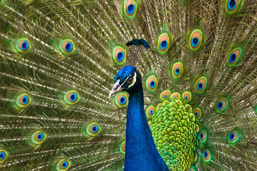 Fototapeta Portrait of beautiful peacock with feathers out