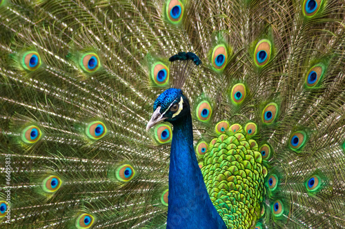 Portrait of beautiful peacock with feathers out - 66695835
