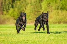 Two Black Labradors Running