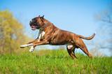 Fototapeta Dogs - Happy boxer dog running