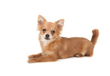 Long Haired Chihuahua Puppy Dog