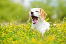 Funny Dog Yawns