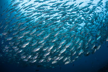 Schooling Fish 3