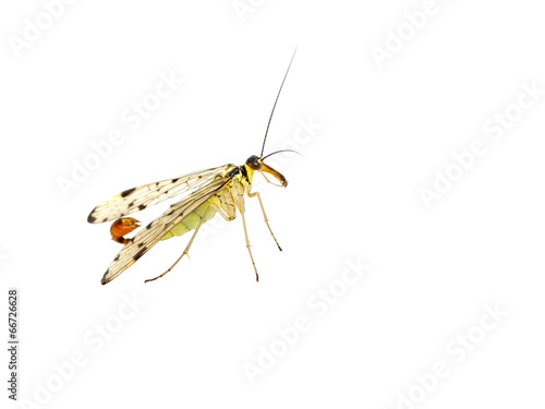 Common scorpion fly Panorpa communis on white background