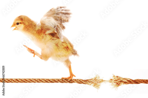 Fotografia  Chick Running on a Rope about to Break