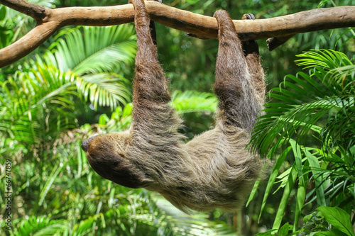 Photo Three Toed Sloth Climbs