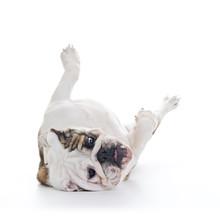English Bulldog Roling Over Floor - Laying Upside Down